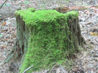 moss-stump