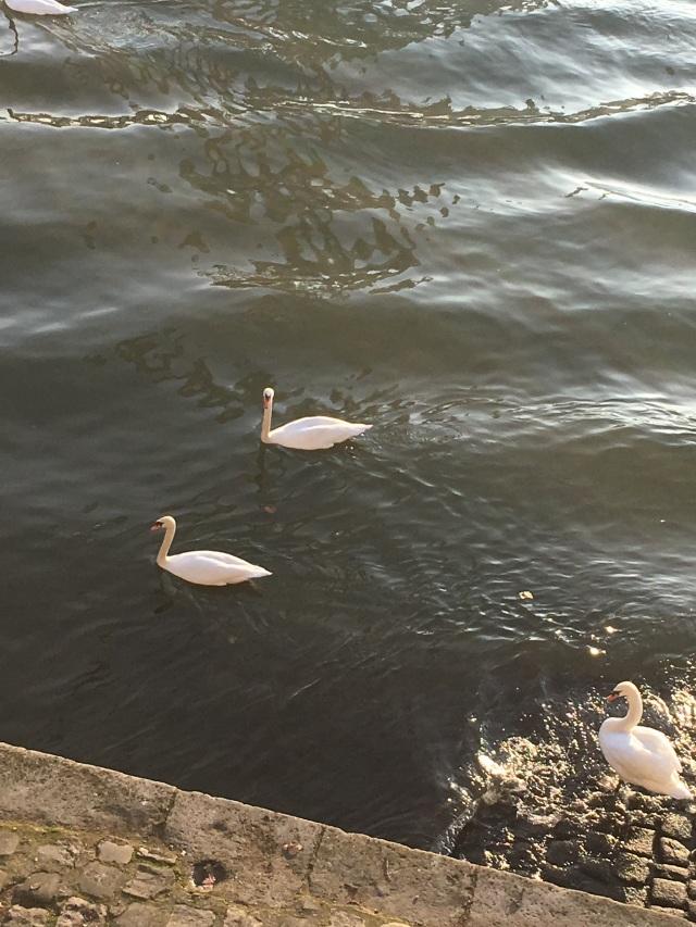 swans in Seine