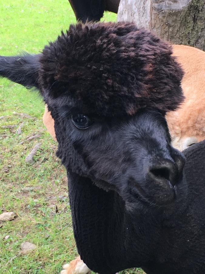 black alpaca