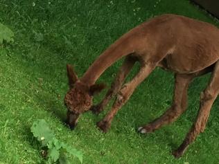 brown alpaca2