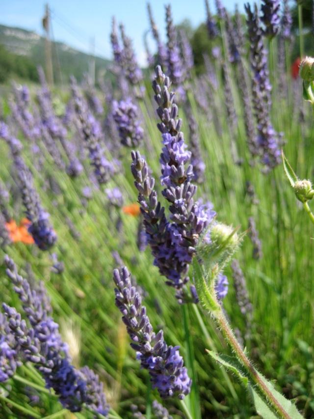 my lavendar