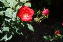 school roses