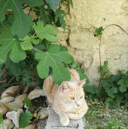 cat under fig tree