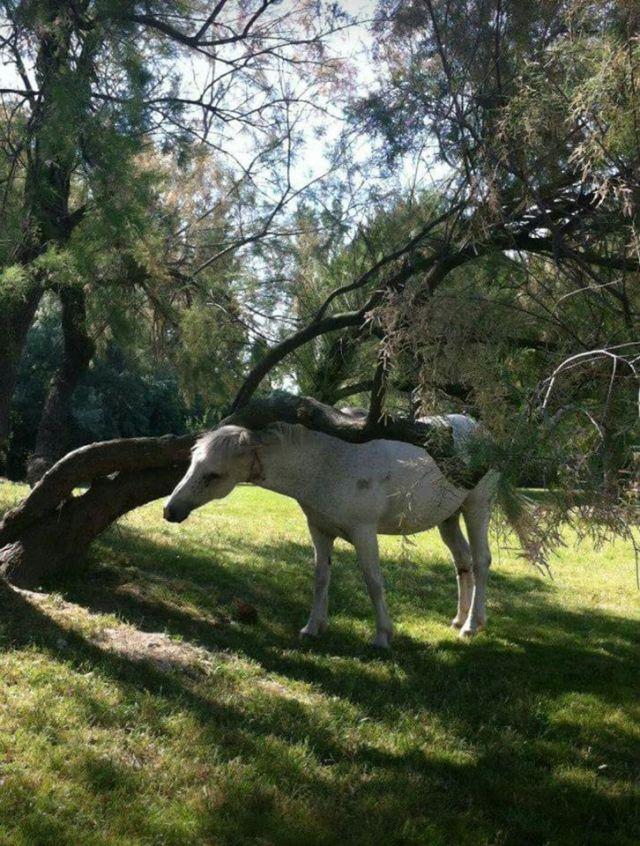 horses camargue