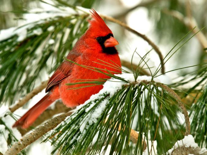Cardinals-image-cardinals-36122736-900-675