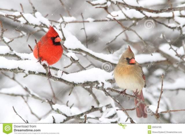 cardinals-snow-20034195