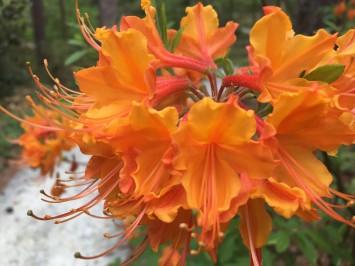 orange azalea