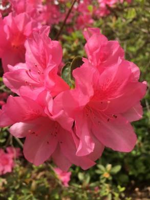 pink az