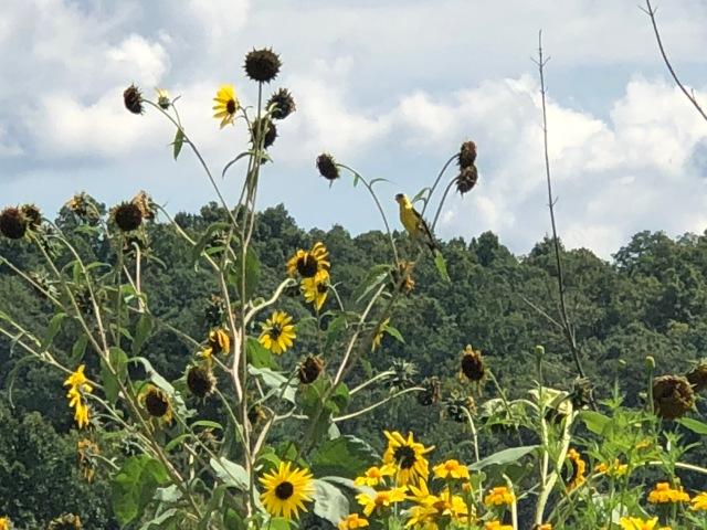 sunflowers LFW