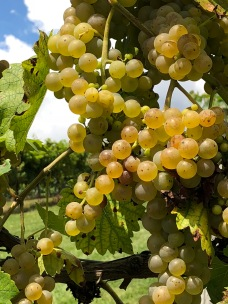 white grapes 2